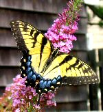 Yellow Swallowtail - a slow flyer, this one, since he's missing one of his swallow-tails